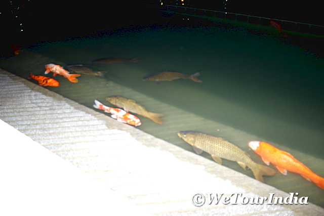 fish at golden temple